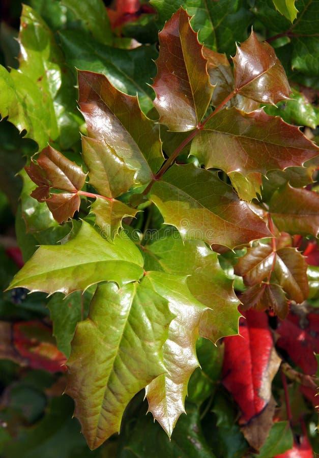 Mahonia liście pod słońcem zdjęcia royalty free