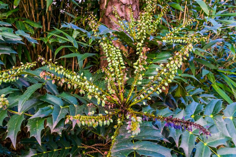 Mahonia Media hybrid shrub in closeup, fruiting plant with berries, popular plants for the garden. A Mahonia Media hybrid shrub in closeup, fruiting plant with royalty free stock photography