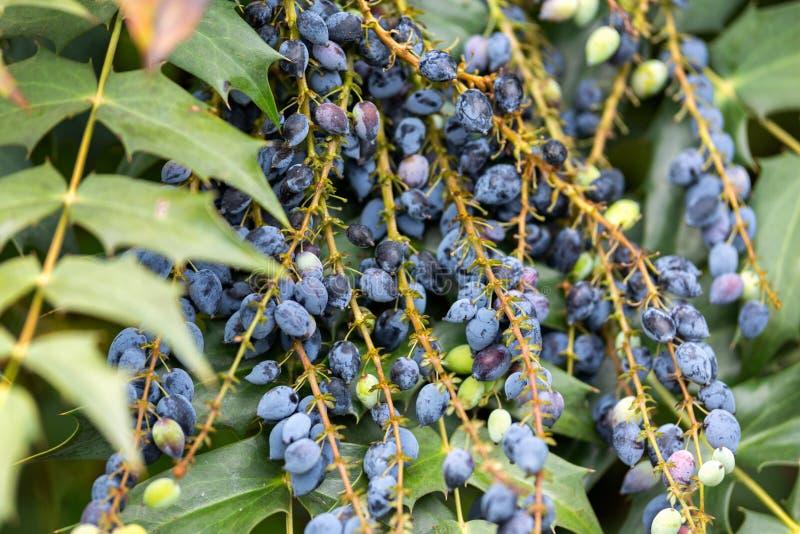 Mahoniaaquifolium, de druivenbessen van Oregon in tuin stock afbeelding