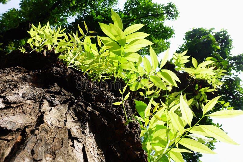 Mahoniowego drzewa liścia zieleń zdjęcie stock