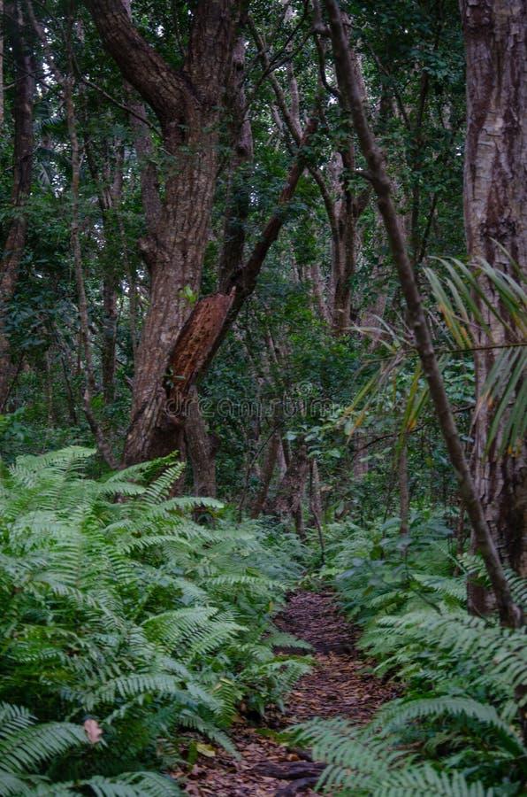 Mahoniowy lasowy Jozani Zanzibar, Luty, - 2019 zdjęcie royalty free