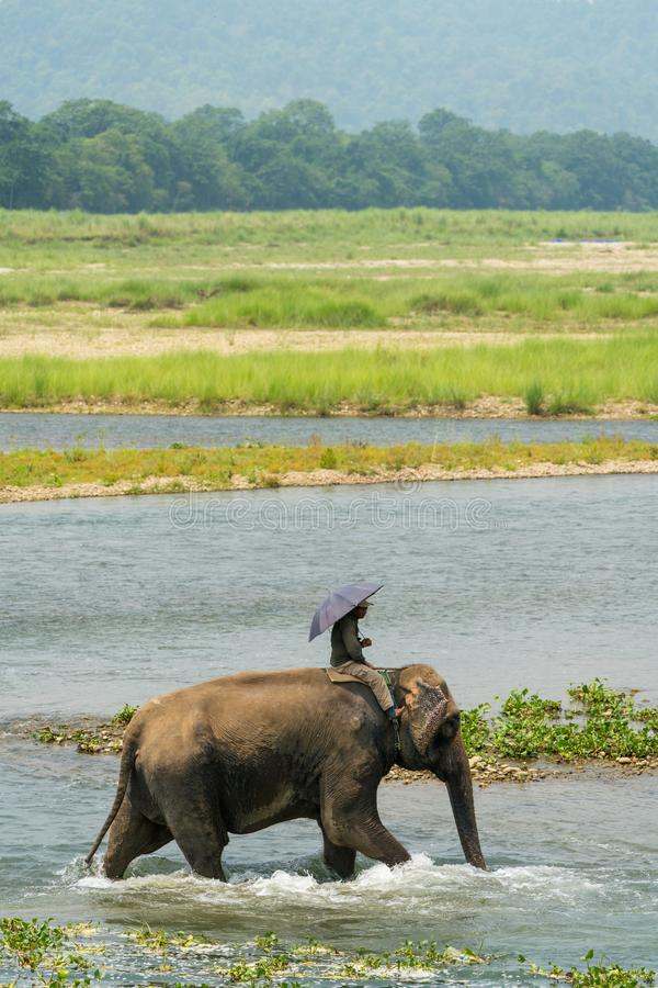 Mahout or elephant rider riding a female elephant in the river. Chitwan National Park, Nepal. Summer 2018. Wildlife and rural photo. Asian elephants as stock photos