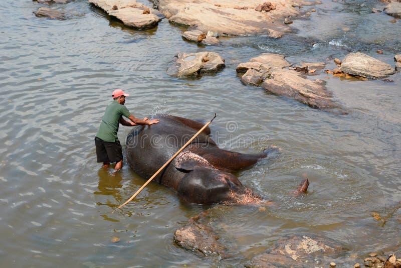 Mahout myje jego słonie przy Maha Oya rzeką Pinnawala słonia sierociniec Sri Lanka obrazy stock