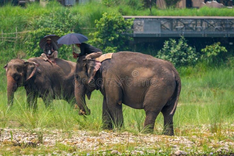 Mahouts или всадники слона с зонтиками ехать женское elepha стоковая фотография rf