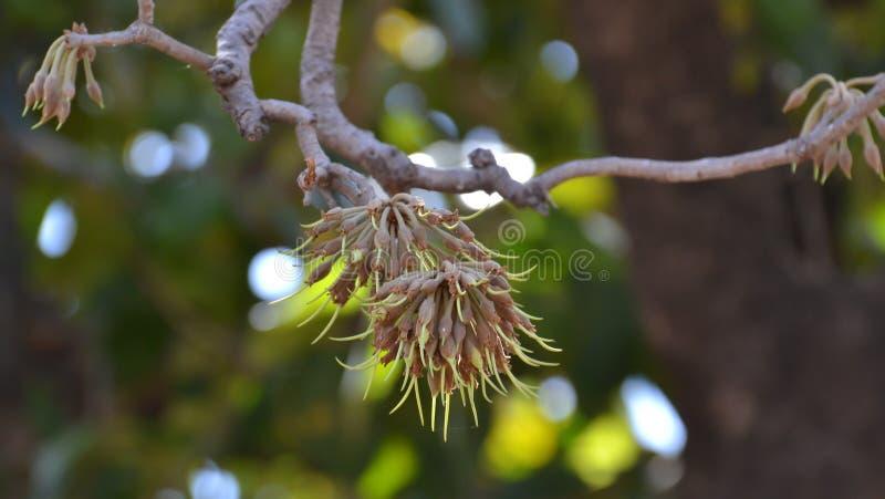 Mahua Flower Alcohol