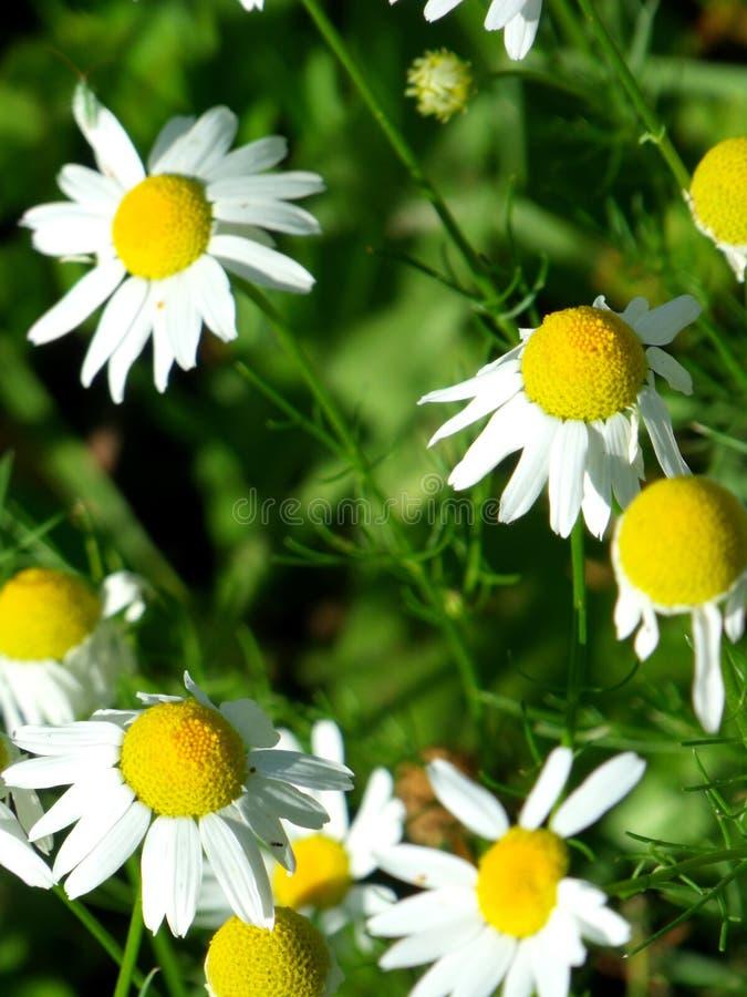 Mai-Blumenfeld von camomiles im Garten am sonnigen Tag für Tapetenhintergrund lizenzfreies stockfoto