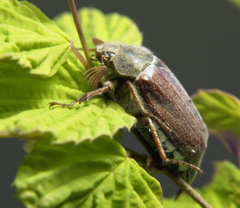 Mai-Käfer, der auf einem Zweig sitzt lizenzfreie stockfotografie