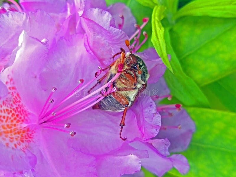 Mai-K?fer Großes Insekt in der Rhododendronblume Großes Blumenblattrosa lizenzfreie stockfotos