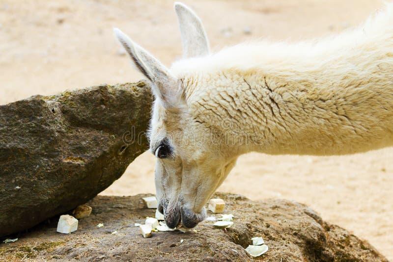 5. Mai 2013 - London-Zoo - Lamalama im Zoo draußen stockbild