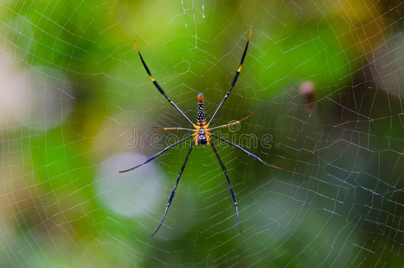 Download Mai Thong spider stock image. Image of fear, macro, insect - 26419331