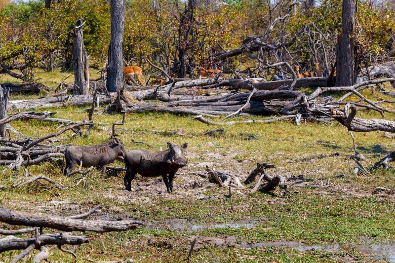 Maiale di facocero, delta di Okavango, fauna selvatica dell'Africa immagini stock libere da diritti