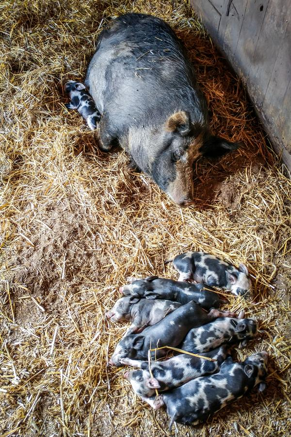 Maiale di mamma con il suo sonno dei porcellini immagini stock libere da diritti