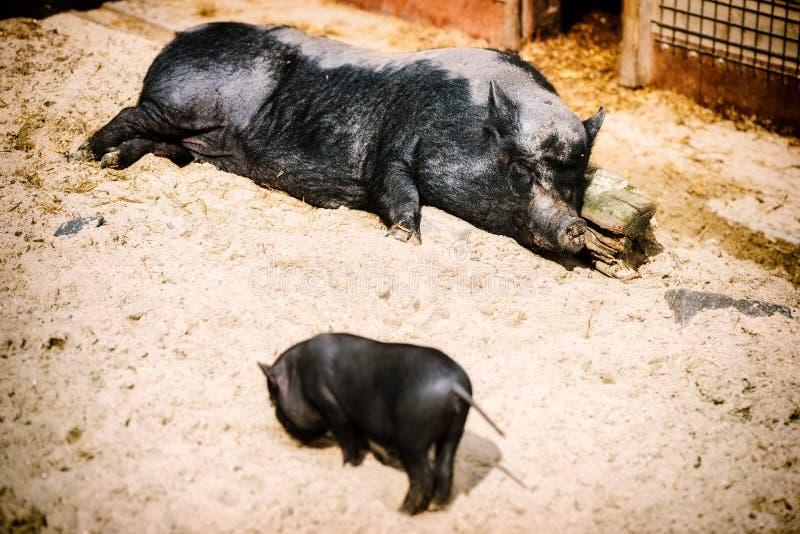 Maiale grande di sonno con il porcellino del bambino Fondo dell'azienda agricola fotografia stock libera da diritti