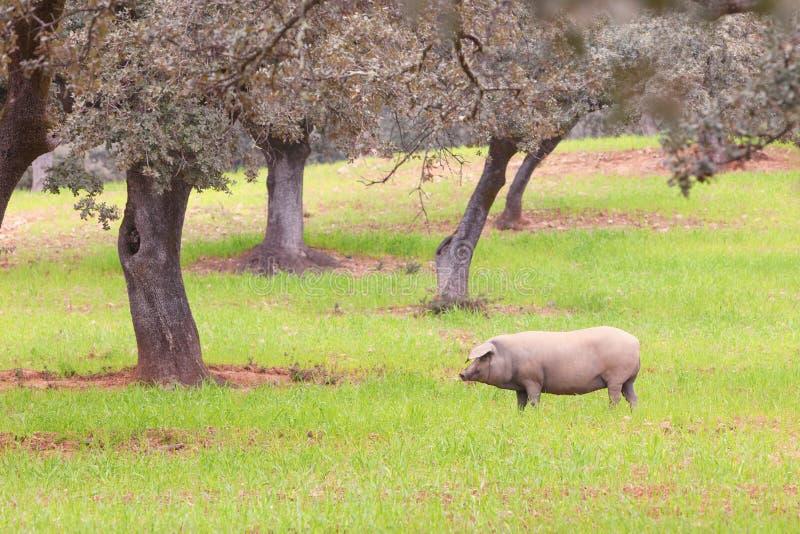 Maiale incinto nel prato, Aracena, Huelva, Spagna di Iberica fotografia stock libera da diritti
