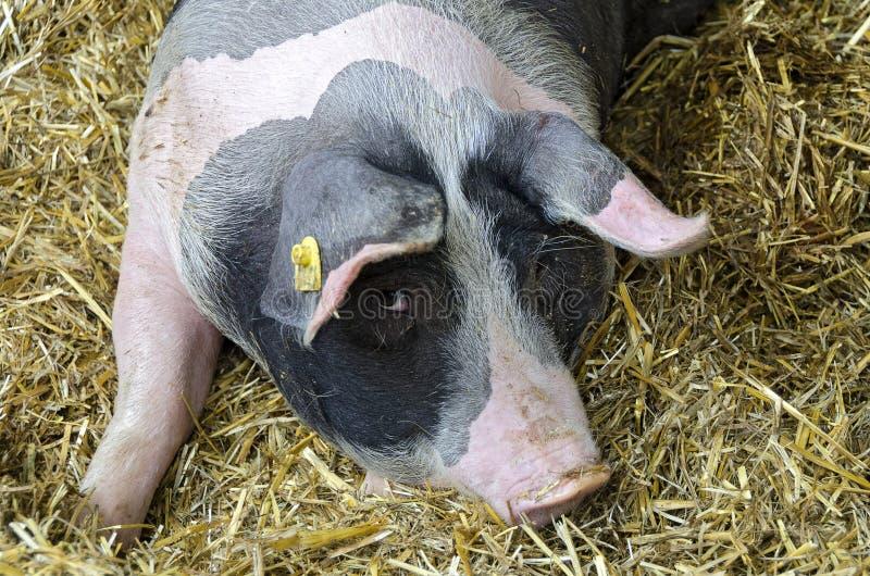 maiale macchiato Rosa-nero fotografia stock libera da diritti