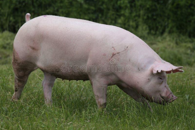 Maiale rosa che pasce sul prato Giovane maiale domestico della razza sul natu immagine stock libera da diritti