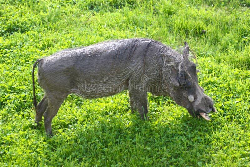 Maiali del maiale del cinghiale nell'erba verde fotografia stock libera da diritti