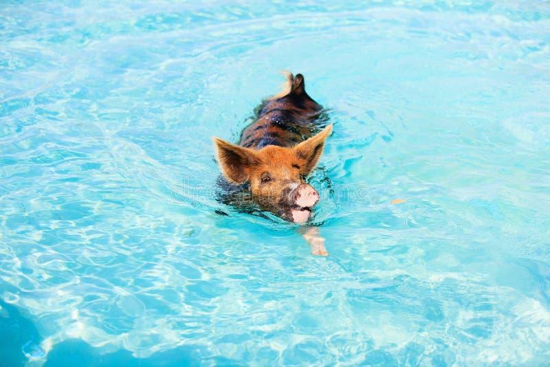 Maiali di nuoto di Exumas immagine stock libera da diritti