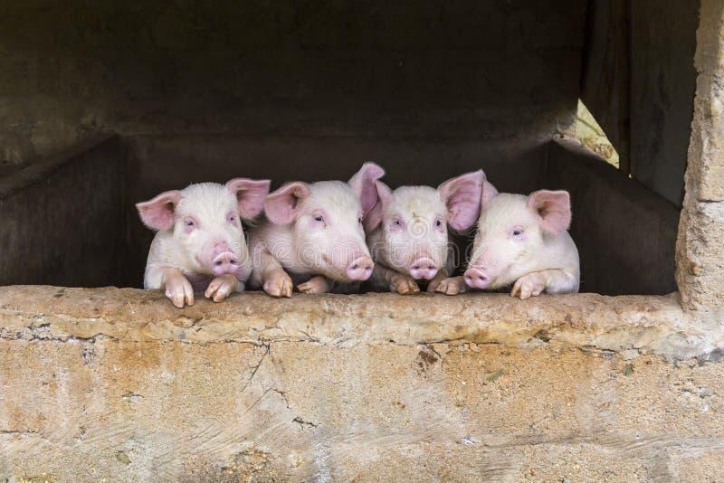 Maiali rosa svegli che stanno in una fila fotografia stock
