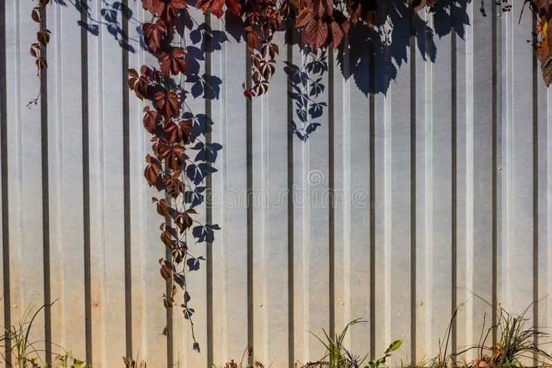 Maiden grapes maroon on a gray metal fence on a Sunny day. Climbing plant in autumn. Parthenocissus quinquefolia stock photos