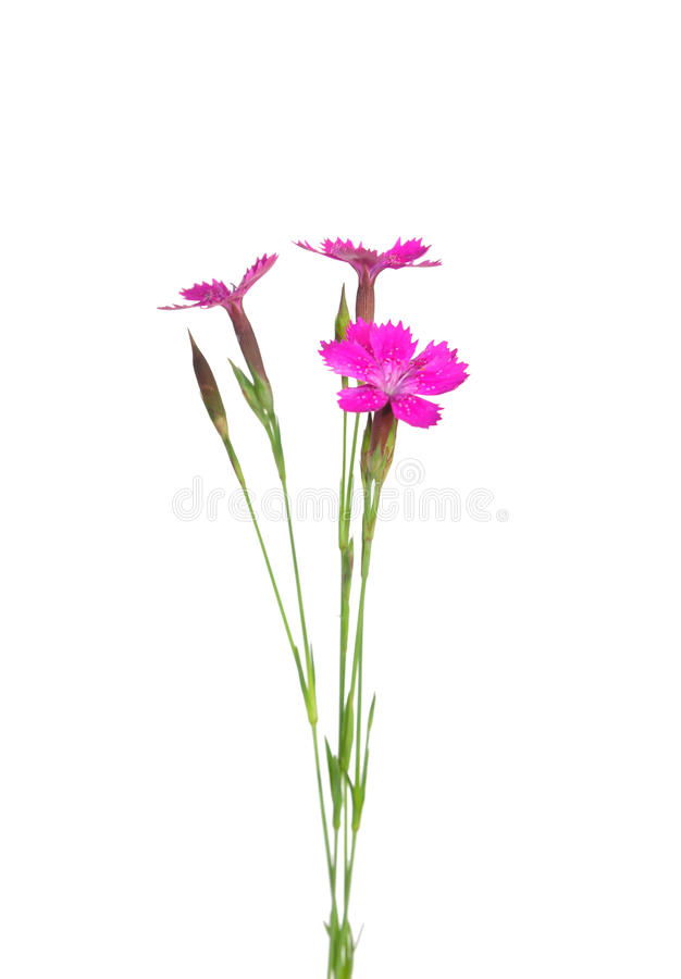Maiden Pink (Dianthus Deltoides) Stock Photo - Image of nature ...