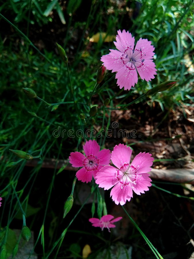 Maiden pink Dianthus deltoides. It`s a dianthus flower that was grown in my garden. It`s so cute I couldn`t stand to take a photo of it stock photos
