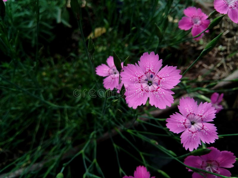 Maiden pink Dianthus deltoides. It`s a dianthus flower that was grown in my garden. It`s so cute I couldn`t stand to take a photo of it royalty free stock photos