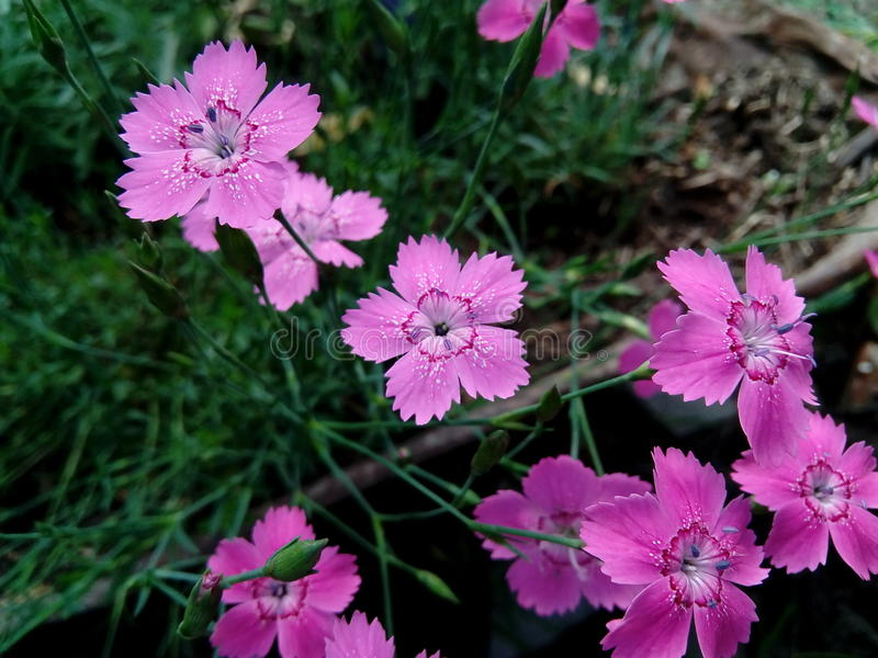 Maiden pink Dianthus deltoides. It`s a dianthus flower that was grown in my garden. It`s so cute I couldn`t stand to take a photo of it royalty free stock images