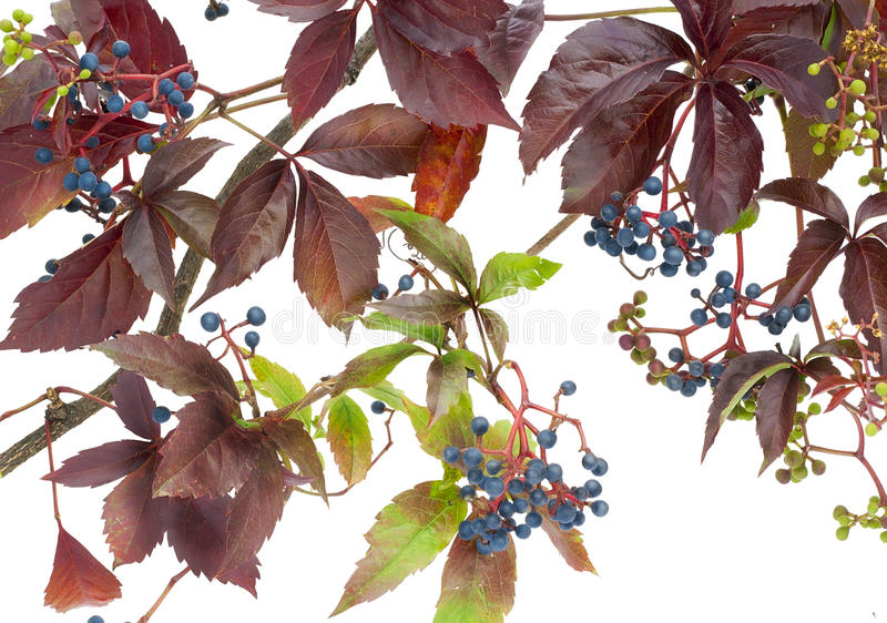 The Maiden Wild Grapes Royalty Free Stock Photo