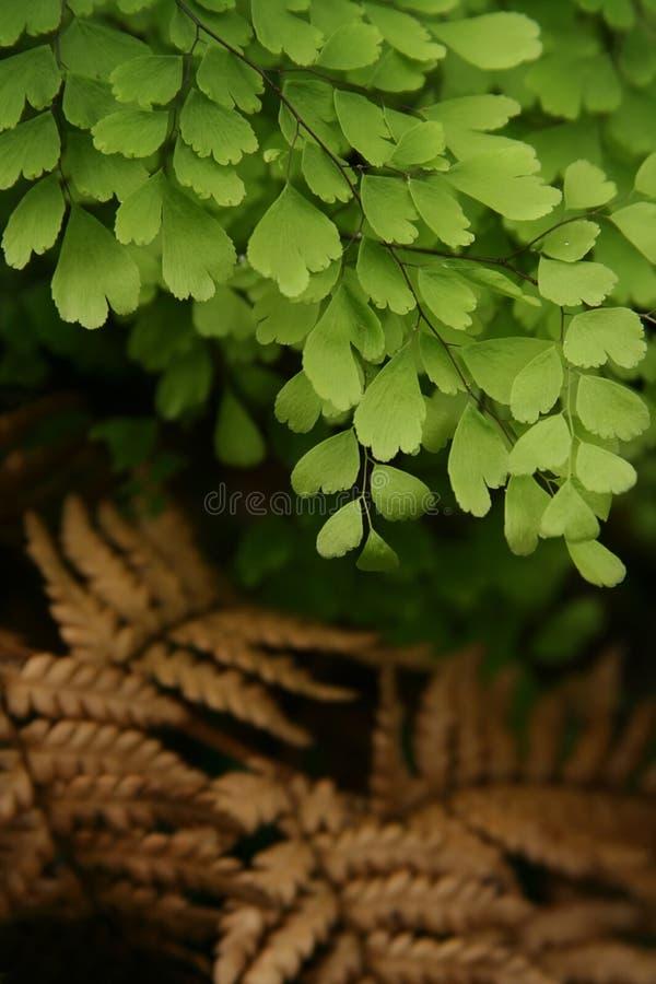 maidenhair папоротника стоковые изображения rf