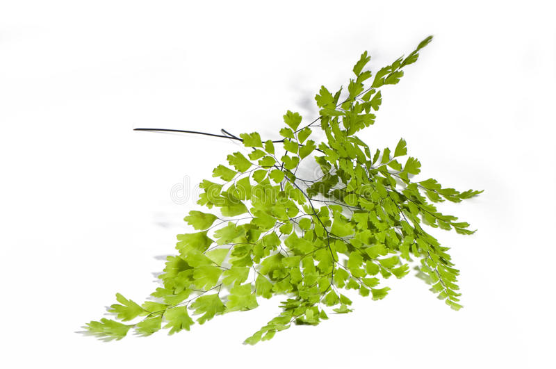 Maidenhair Blätter stockbild