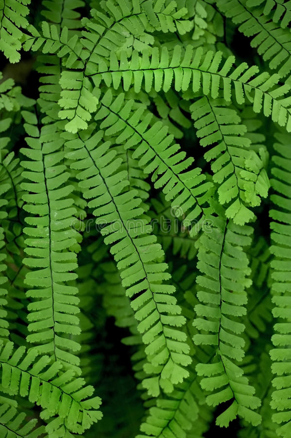 Free Maidenhair Fern Royalty Free Stock Image - 14785206
