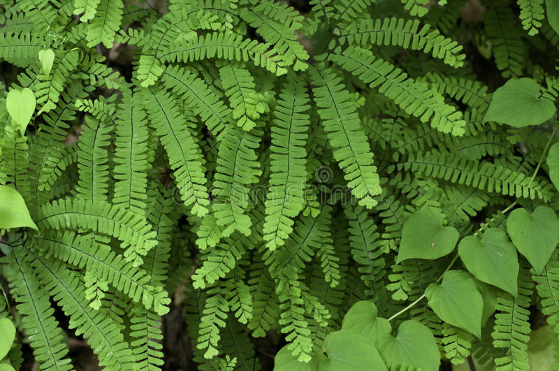 Download Maidenhair Fern stock photo. Image of color, closeup - 14785214