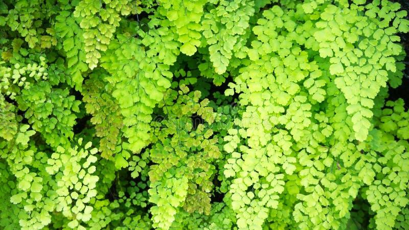 Maidenhair fern arkivfoto