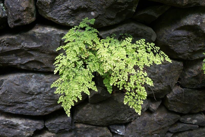 Maidenhair fern & x28;Adiantum capillus-veneris& x29; royalty free stock photo