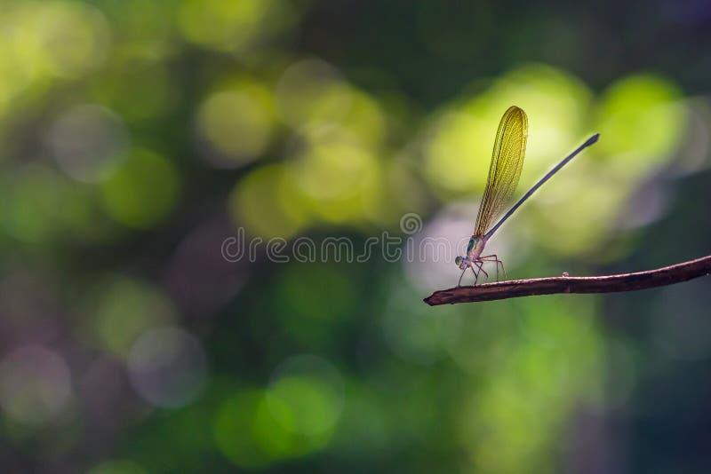 Maidfliege auf einem Zweig stockfotos