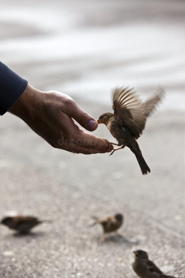 Main alimentante d'oiseau image libre de droits