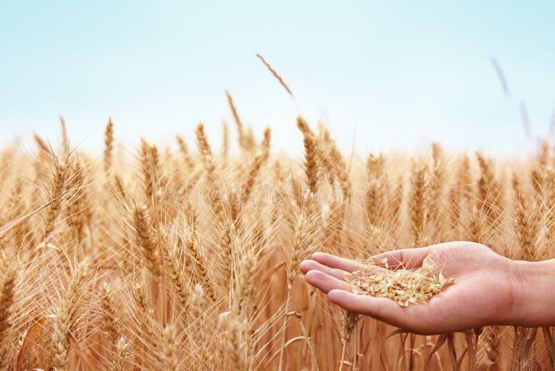 Main avec du blé photos stock