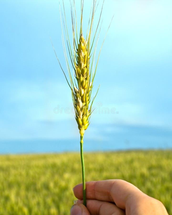 Main avec du blé photographie stock