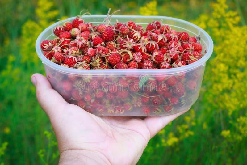 Main avec le conteneur complètement du fraisier commun mûr rouge au fond de pré de vert de nature image stock