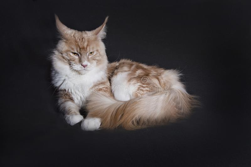 Main coon on black background. Cream color royalty free stock photos