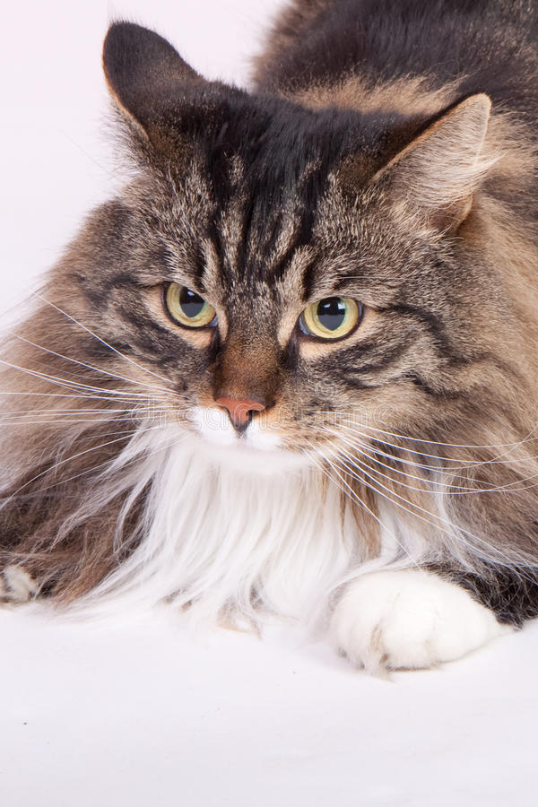 Main Coon Cat Stock Photography