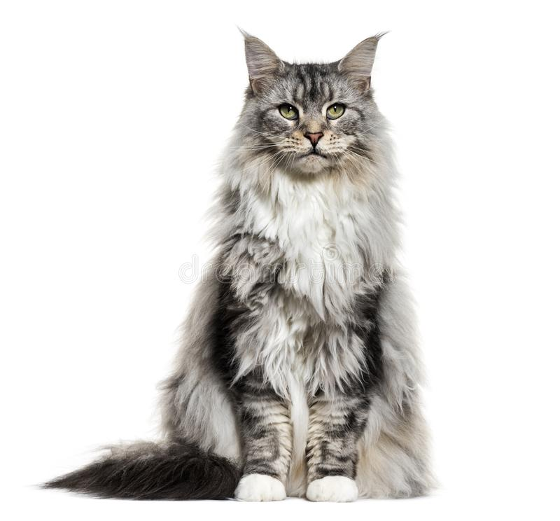 Main coon cat, sitting, isolated. On white stock photos