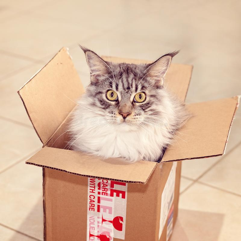 Main Coon Cat Sitting In A Post Box. Main Coon fully grown female cat sitting in a postal delivery box, squashed in, direct stare royalty free stock image