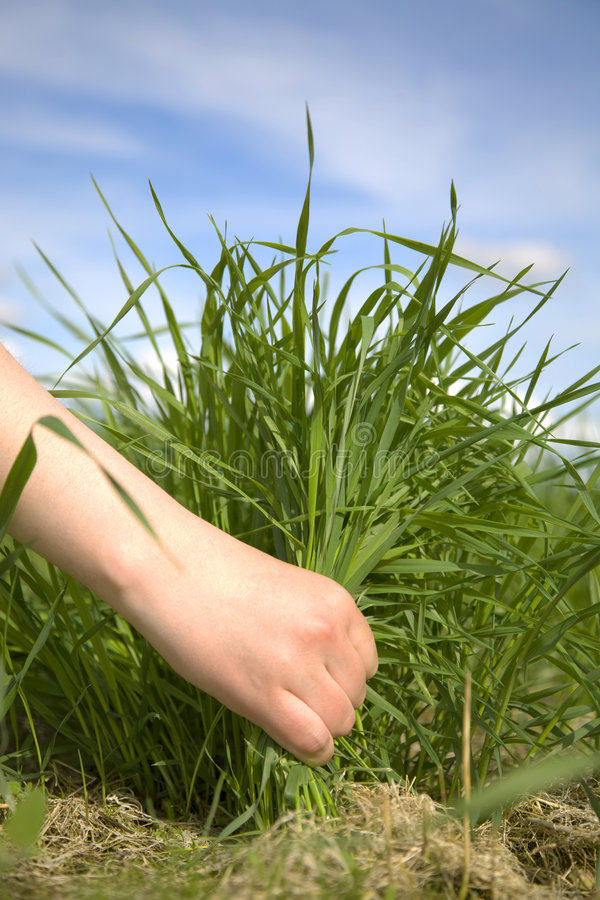 Main déchirant une herbe photographie stock libre de droits