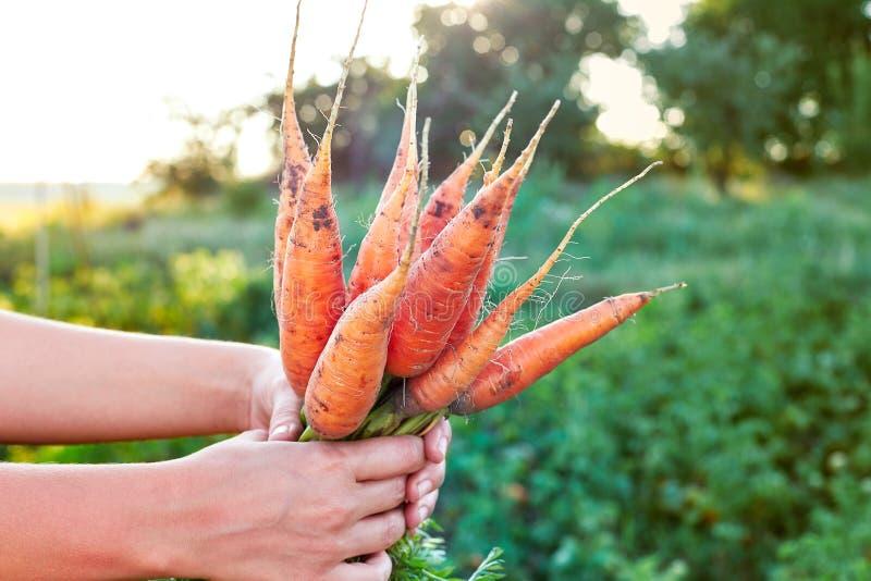 Main d'agriculteur jugeant un groupe de carottes lumineuses fraîches dans le jardin extérieur Foyer sélectif images libres de droits