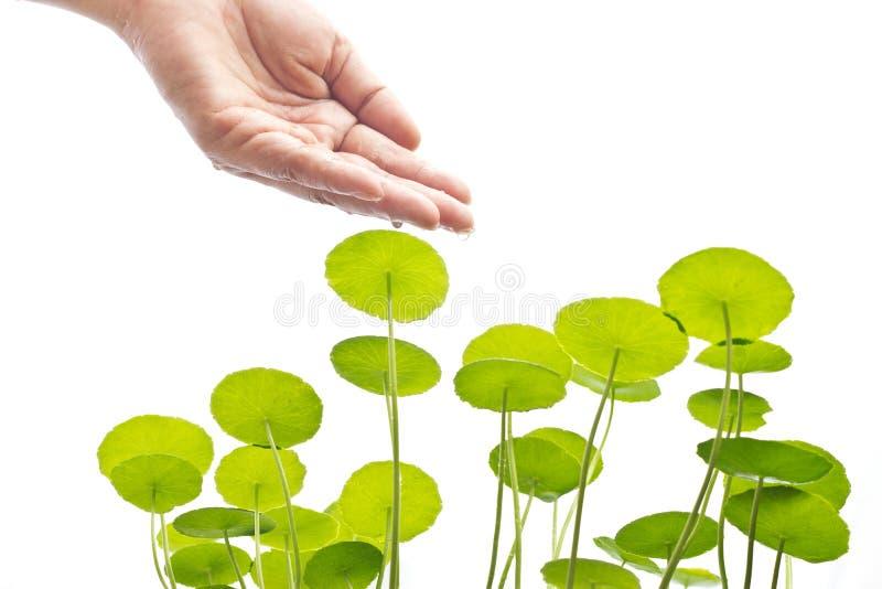 Main d'arroser la plante verte, le concept d'environnement et de biologie photographie stock