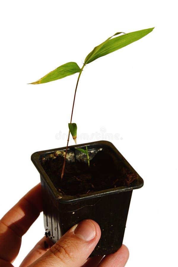 Main d'homme adulte jugeant le pot de fleurs noir rectangulaire avec la jeune plante du Phyllostachys en bambou de Moso edulis photographie stock libre de droits