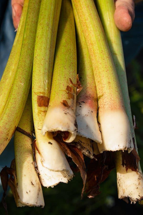 Main d'homme jugeant les tiges vertes fra?ches de rhubarbe juste du jardin L?gume frais de ressort d'?t? Plante cultiv?e, Rheum,  images stock