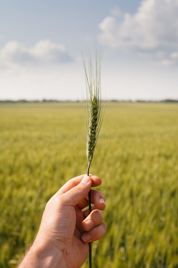 Main d'homme tenant un foyer sélectif d'usine de grain image libre de droits